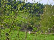 English: Sheep near Wart Hill Sheep grazing near Wart Hill