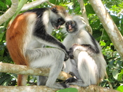 Red Colobus monkeys in Jozani forest. Endemic to Zanzibar.