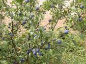 English: Sloes. The fruit of the blackthorn. They contain a proportionately large stone so there is not much flesh. Many householders use them to flavour gin.