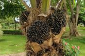 English: Fruit of Elaeis guineensis (oil palm) produced by a young palm at the botanical garden of Portoviejo, Ecuador. Español: Frutos de palma africana de aceite (Elaeis guineensis) producidas por un palmito en el jardín botánico de Portoviejo, Ecuador.