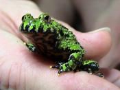 Photographer: LA Dawson Oriental Fire-belly Toad, Bombina orientalis Category:Frog images