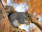 An Eastern Grey Squirrel (Sciurus carolinensis) in St James's Park, London, England. Français : Ecureuil gris (Sciurus carolinensis) dans la parc Saint James, à Londres. Português: Um esquilo pertencente à espécie Sciurus carolinensis, no St James's Park