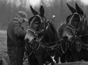 English: This pair of mules were working a plowing exhibition at The Farnsley-Moreman House in Louisville, Kentucky.