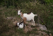 Domesticated goat with two kids near road side in residential area in Lammare near Sainte-Anne, Guadeloupe.