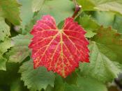 A grape vine with a single red leaf that may hint at a nutrient deficiency in the vine.