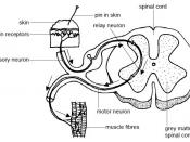 Anatomy and physiology of animals Relation btw sensory, relay & motor neurons.