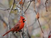English: Northern Cardinal, Cardinal, Cardinalis cardinalis, Male Northern Cardinal, Male Cardinal, Male Animal, Bird, Birds of North America, Birds of Minnesota, Songbirds
