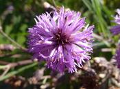 Vernomia altissima (Compositae) flower