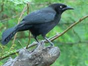 Martinique Blackbird