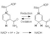 English: Reduction and oxidation of the coenzyme NAD