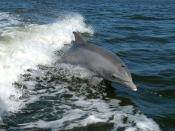 - Tursiops truncatus A dolphin surfs the wake of a research boat on the - near the . Français : Un Grand dauphin (Tursiops truncatus) surfe dans le sillage d'un bateau de recherche sur la Banana river, près du Centre spatial Kennedy. Magyar: Palackorrú de