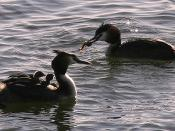 English: Family of Great Crested Grebes. Two adults and two chicks sitting on a parents back. Other parent bringing fish.