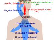 Overview of the thyroid system (See Wikipedia:Thyroid). To discuss image, please see Talk:Human body diagrams
