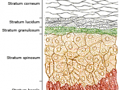 The layers of the epidermis (left). Melanocytes (rlght), located in the bottom epidermal layer, produce melanin.