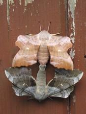 English: Identified on wp.en Science Reference Desk as mating Laothoe populi (Poplar Hawk-moth) Taken Belfast, Northern Ireland, July 2009.