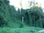 Kudzu on trees in Atlanta, Georgia, USA Location: Piedmont Park, next to large drainage ditch near railroad track http://maps.google.com/maps?f=q&hl=en&q=atlanta,+ga&ll=33.789714,-84.371264&spn=0.001003,0.00339&t=h