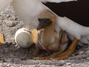 English: Masked Booby Chicken (Sula dactylatra)