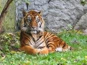 English: Panthera tigris sumatran subspecies. Français : Un tigre de Sumatra (Panthera tigris sumatrae).