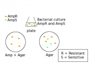 English: example of selection for bacteria by antibiotic resistance
