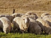 Sheep grazing in rural Australia. Early British settlers introduced Western stock and crops and Australian agriculture now produces an abundance of fresh produce.
