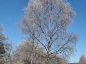 English: Silvery Birches The snow and frost have made these Silver Birch (Betula pendula) trees, near the visitor centre, very silvery indeed.