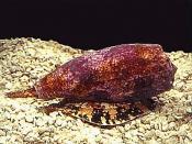 Conus geographicus (a marine snail)