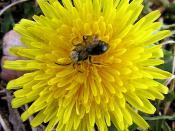 English: dandelion and bee