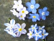 English: Mendels rules (Myosotis)
