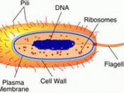 Prokaryotes are primitive cells, without a nucleus or membrane bound organelles, has DNA located in a