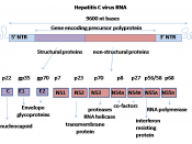 English: The genome organisation of Hepatitis c virus. One open reading frame encodes a polyprotein of 3010 amino acids. This protein is cut by viral and cell enzymes to active proteins.