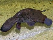 Ornithorhynchus anatinus Deutsch: Schnabeltier Русский: Утконос