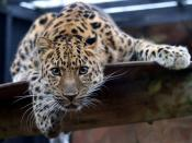 English: Amur Leopard in the Colchester Zoo