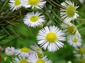 English: Daisy on pine Magyar: Margaréta fenyőn