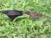 VIRA-BOSTA Imaturo (Molothrus bonariensis) e ( Zonotrichia  Capensis )
