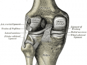Left knee-joint from behind, showing interior ligaments. (Lateral meniscus and medial meniscus are cartilage.)
