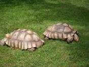 മലയാളം: African Spur Thigh Tortoise (Geochelone sulcata) is a species of tortoise which inhabits the southern edge of the Sahara desert, in northern Africa. It is the third largest species of tortoise in the world and the largest species of mainland torto