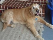 A 15 year old Golden Retriever dog, unusually old for a larger breed such as Golden Retriever. The dog's name is Spencer.