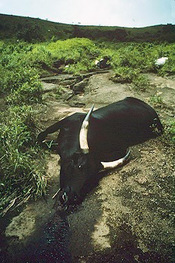 Cow suffocated by CO 2 from Lake Nyos.