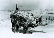 Young steer after a blizzard, March 1966