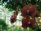 English: An unidentified orchid in the atrium of Gaylord Palms