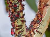 Leafhoppers excrete sugary sap that is collected by meat ants, which protect this valuable food resource