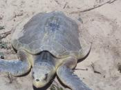 Photos and maps related to Padre Island. Padre Island National Seashore - Kemps Ridley Sea Turtle