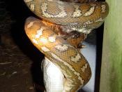 A carpet snake (Morelia spilota variegata) eating a chicken