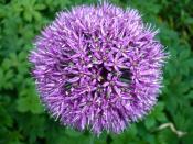 lila Blütenball