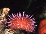 Sea urchins like this purple sea urchin can damage kelp forests by chewing through kelp holdfasts