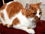 Maple: The Snell's Cat