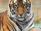 A Bengal tiger much like the one that spent 227 days with Pi