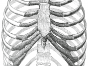 The human rib cage (Source: Gray's Anatomy of the Human Body, 20th ed. 1918)