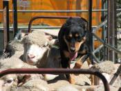 English: An Australian sheepdog (breed unknown) backing sheep in order to reach the lead sheep in the flock to drive it along.