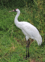 English: The Whooping Crane, Grus americana at the Calgary zoo.